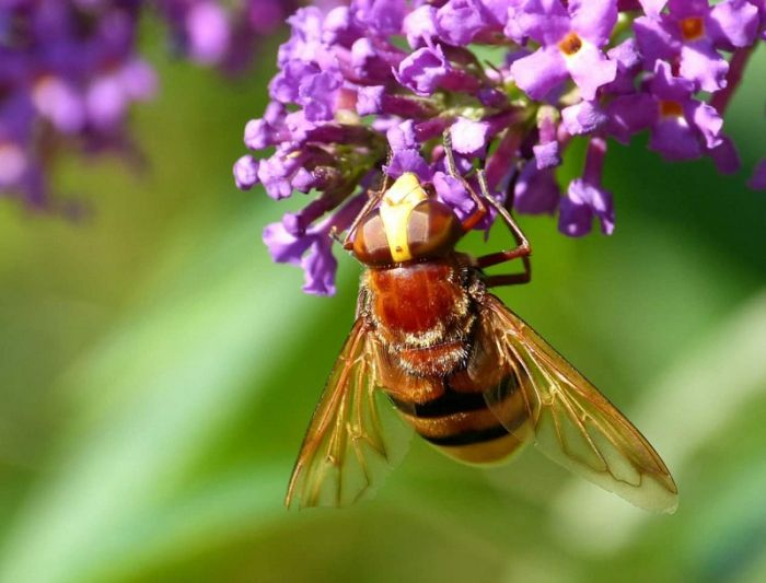 Hornet Hoverfly Scarborough © Jim Middleton