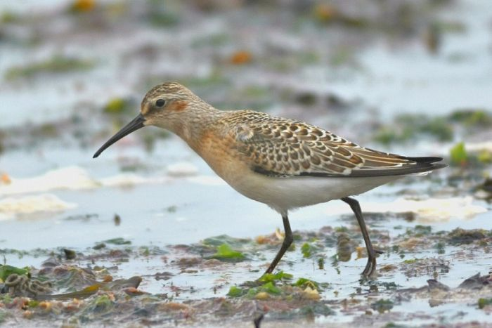 Curlew Sandpiper South Landing Flamborough © Andy Hood