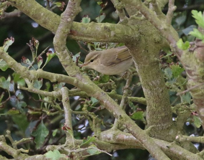 Greenish Warbler Flamborough © Lee Johnson