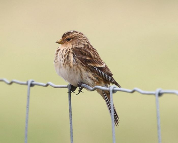 Twite © Richard Baines
