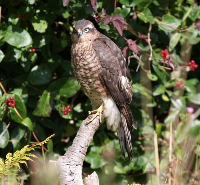Sparrowhawk © Richard Baines