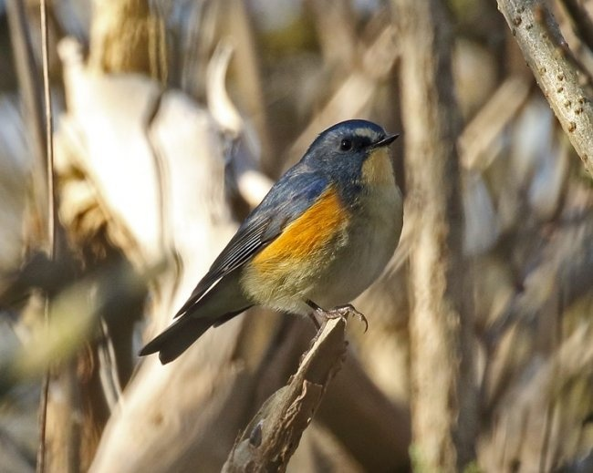 Red-flanked Bluetail © Dave Constantine