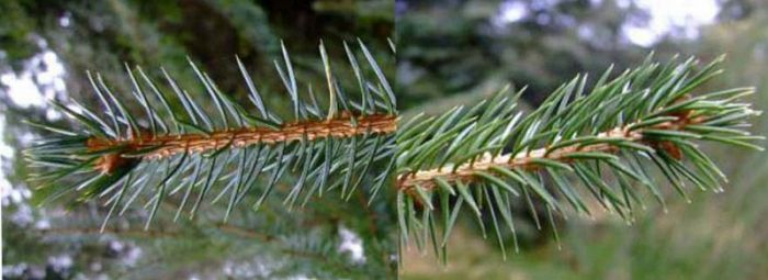Sitka Spruce (left) Norway Spruce (right)