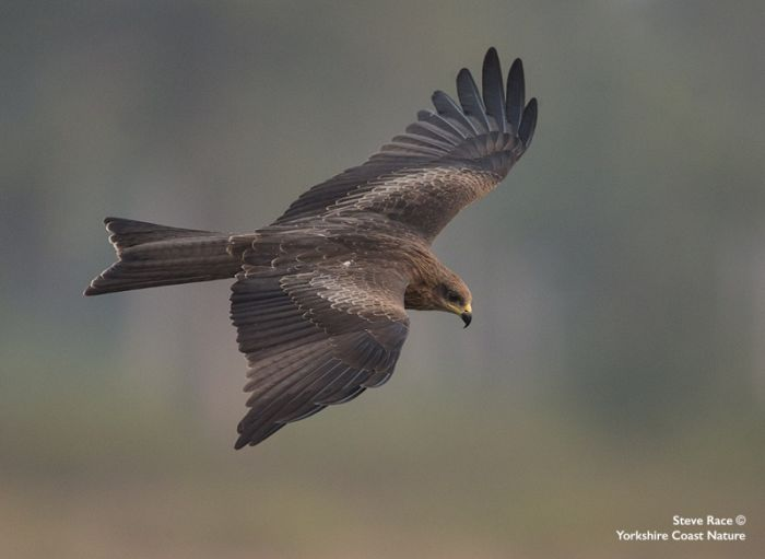 Black Kite © Steve Race