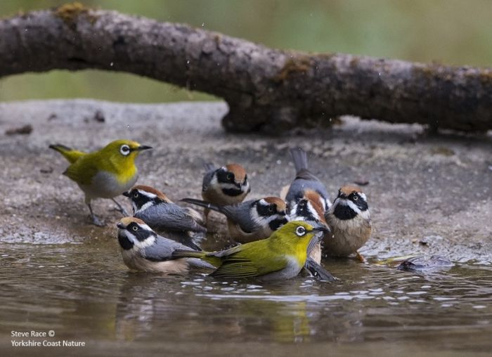 Black-throated Tits and Oriental White-eye © Steve Race