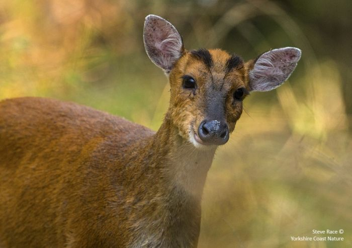 Barking Deer © Steve Race
