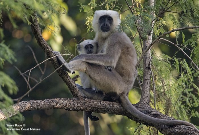 Northern Langur © Steve Race