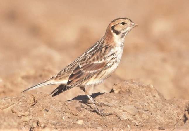 Lapland Bunting Feb 2017 Flamborough © Andy Hood