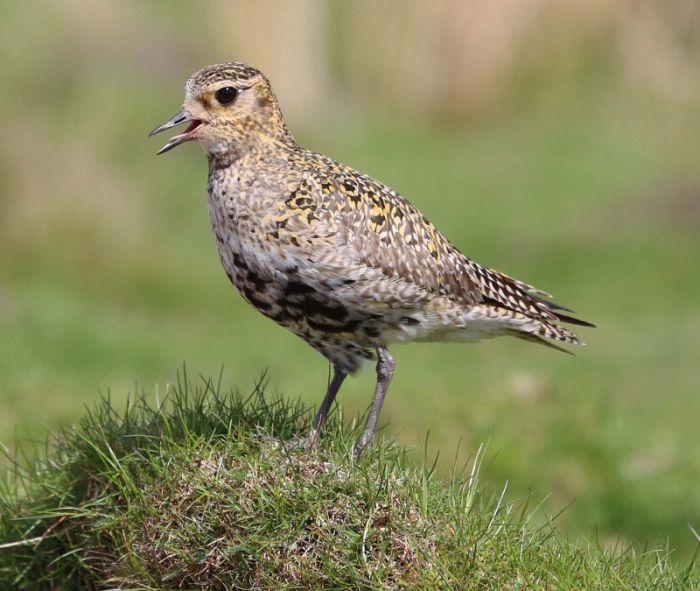 Golden Plover (female) © Richard Baines