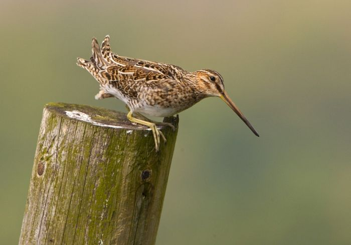 Common Snipe © Steve Race
