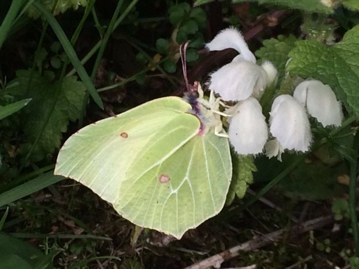 Brimstone North Yorks © Ed Tooth