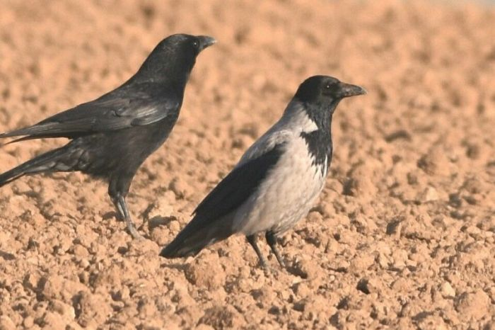Hooded Crow and Carrion Crow © Andy Hood