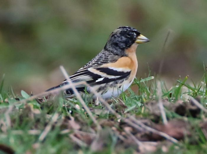 Brambling © John Harwood