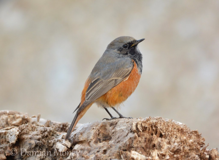 Eastern Black Redstart Skinningrove © Damian Money