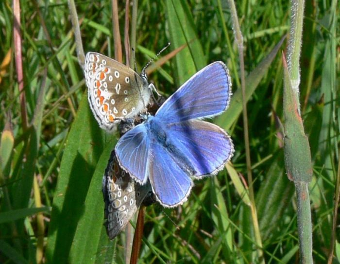 Male and Female Common Blue © Richard Baines