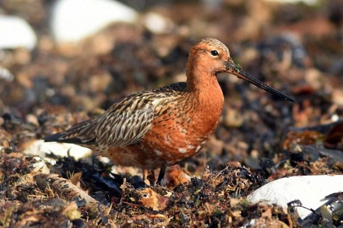 Bar-tailed Godwit South Landing Flamborough © Andy Hood