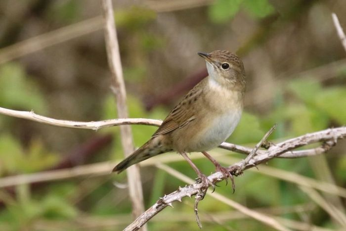 Grasshopper Warbler at Filey © Ian Robinson