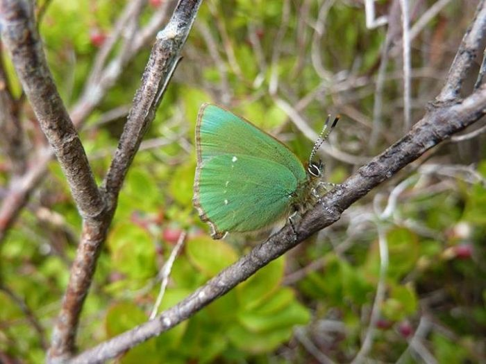 Green Hairstreak © Allan Rodda