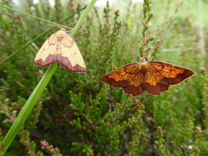 Dark-bordered Beauty female and male © Allan Rodda