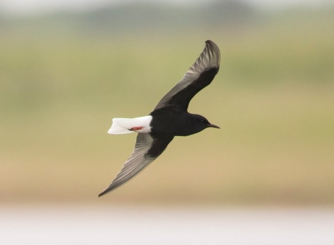 White-winged Black Tern © Justin Carr