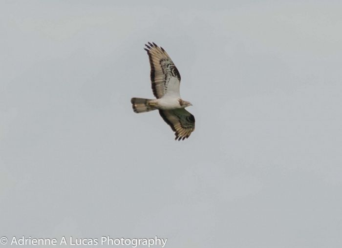 Honey Buzzard © Adrienne Lucas