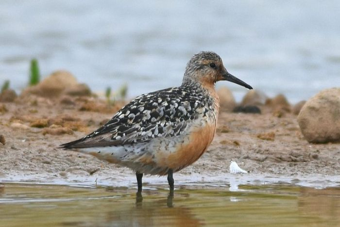 Red Knot Thornwick Pools © Andy Hood