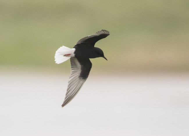 White-winged Tern at Kilnsea © Justin Carr
