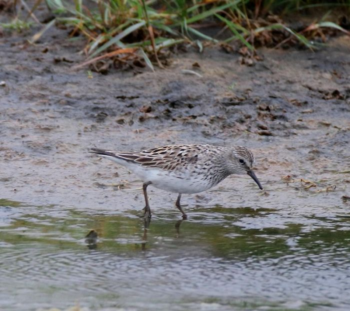 White-rumped Sandpiper at Kilnsea © Nigel Genn