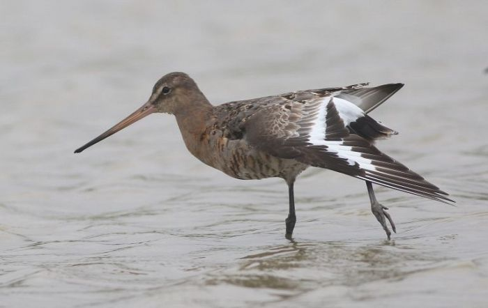 Black-tailed Godwit at Thornwick Pools © Craig Thomas