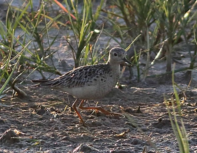 Buff-breasted Sandpiper at Kilnsea © John Hewitt