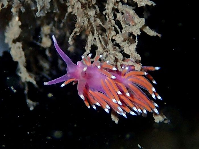 Flabellina pedata in the Calf Allen Rocks area © Paula Lightfoot
