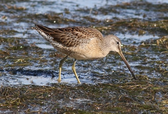 Long-billed Dowitcher Kilnsea © Rich Swales