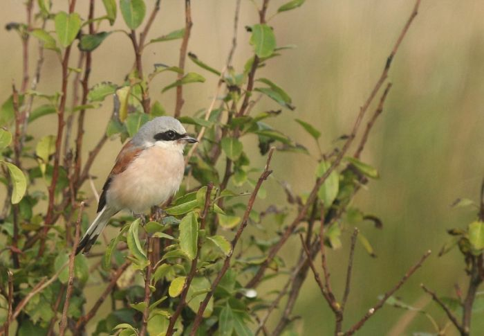 Red-backed Shrike Filey © Mark Pearson