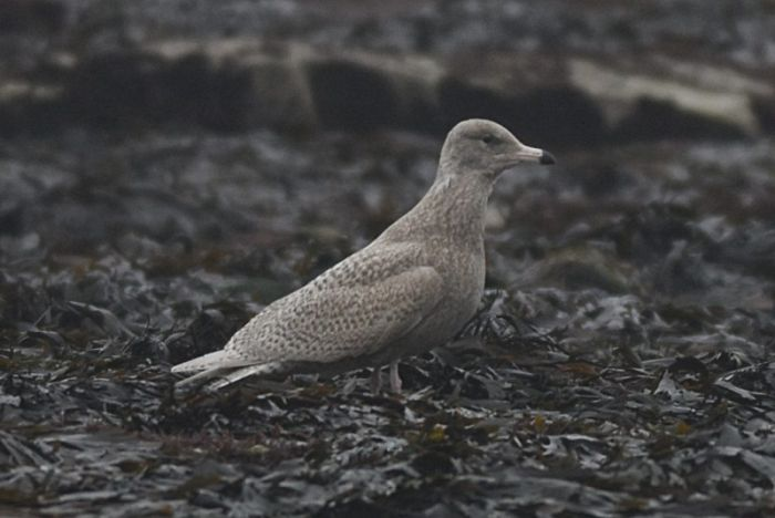 Glaucous Gull Flamborough © Andy Hood
