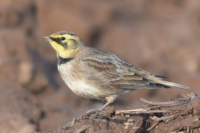 Shore Lark Flamborough  © Andy Hood