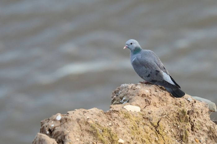 Stock Dove on the cliffs at Flamborough Head © Richard Baines