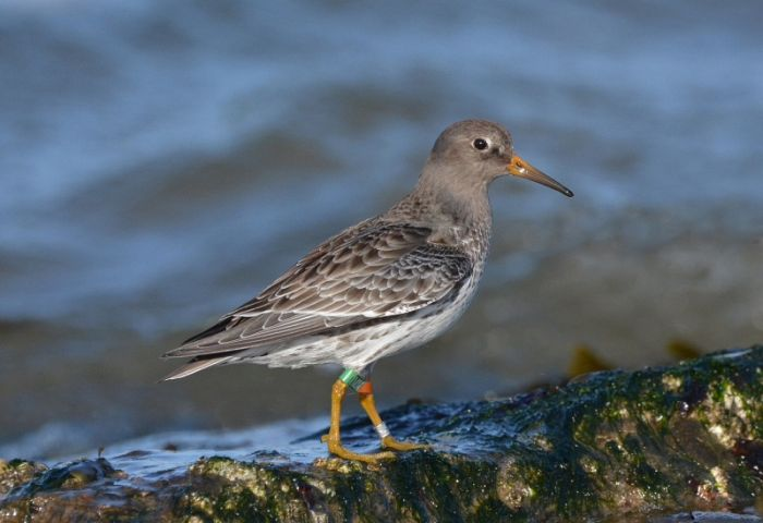 Purple Sandpiper from Spitsbergen at Redcar © Damian Money