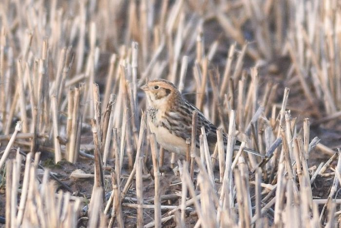 Lapland Bunting at Flamborough © Andy Hood