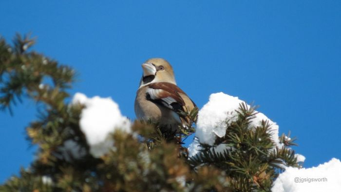 Hawfinch Thornton-le-Dale Graham Sigsworth