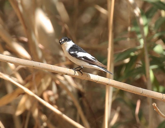 Semi-collared Flycatcher © Richard Baines