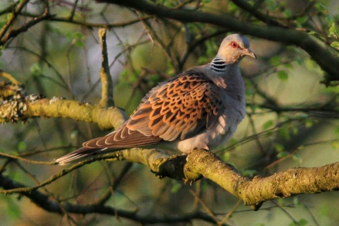 Turtle Dove at Sutton Bank May 2018 © Richard Willison