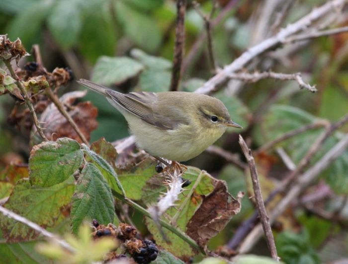 Willow Warbler © Richard Baines