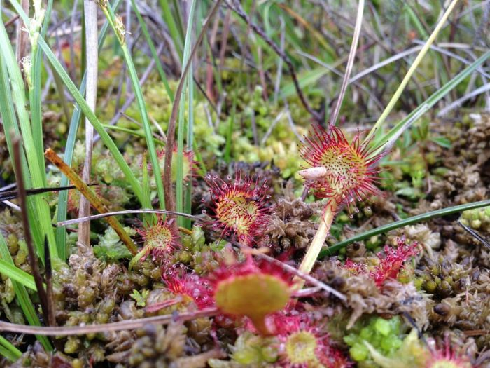 Round-leaved Sundew © Richard Baines