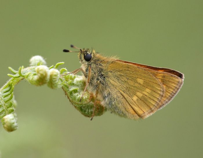 Large Skipper (male) © Dan Lombard