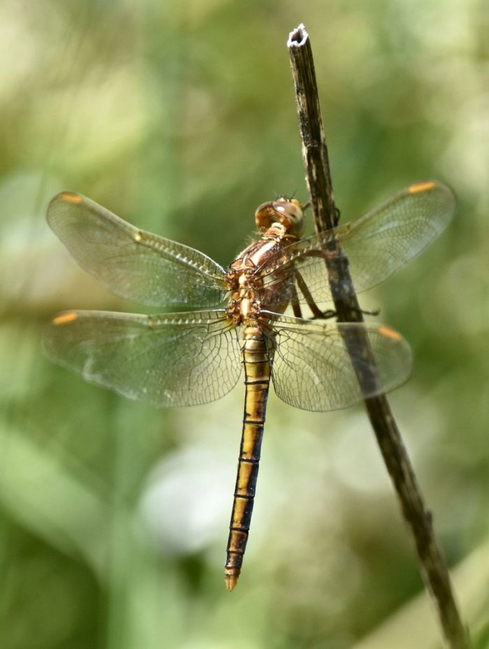 Keeled Skimmer at Thornwick Pools © Anthony Simpson