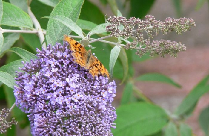 Comma on Buddleia © Richard Baines