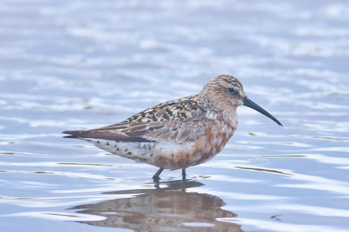 Curlew Sandpiper at Flamborough © Andy Hood