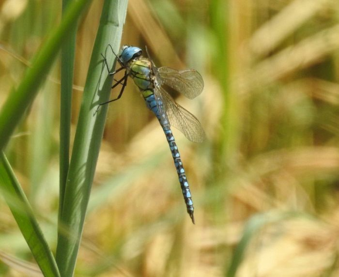 Southern Migrant Hawker at Kilnsea © Jonnie Fisk