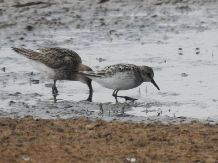 Semi-palmated Sandpiper at Kilnsea Wetlands © Jonnie Fisk