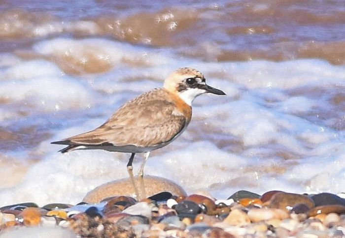 Greater Sand-plover At Beacon Ponds © Andy Hood
